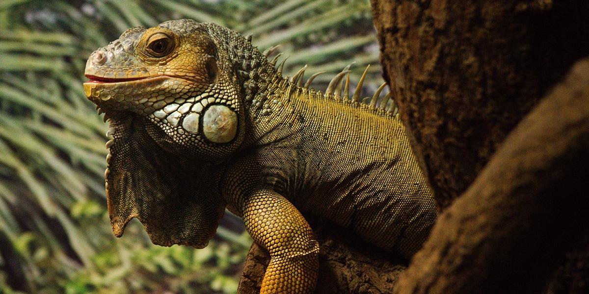 iguana park iguana