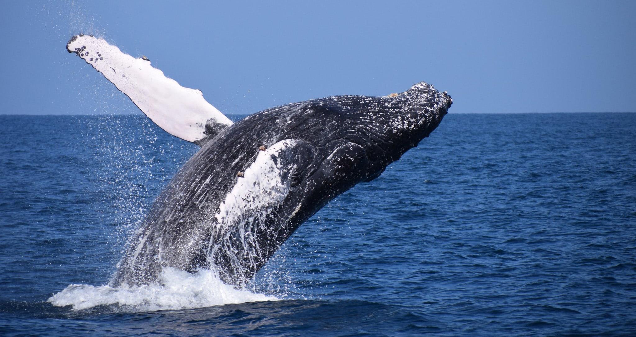 hunchback whales - montañita ecuador