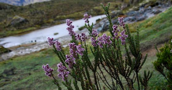 Des fleurs pourpres dans le parc national de Cajas, en Équateur