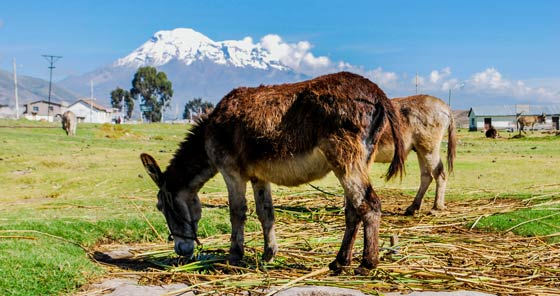 Donkeys with Chimborazo volcano in background in Ecuador