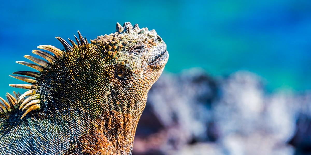 iguana de galapagos - cuantas especies hay en galapagos- especies de galapagos