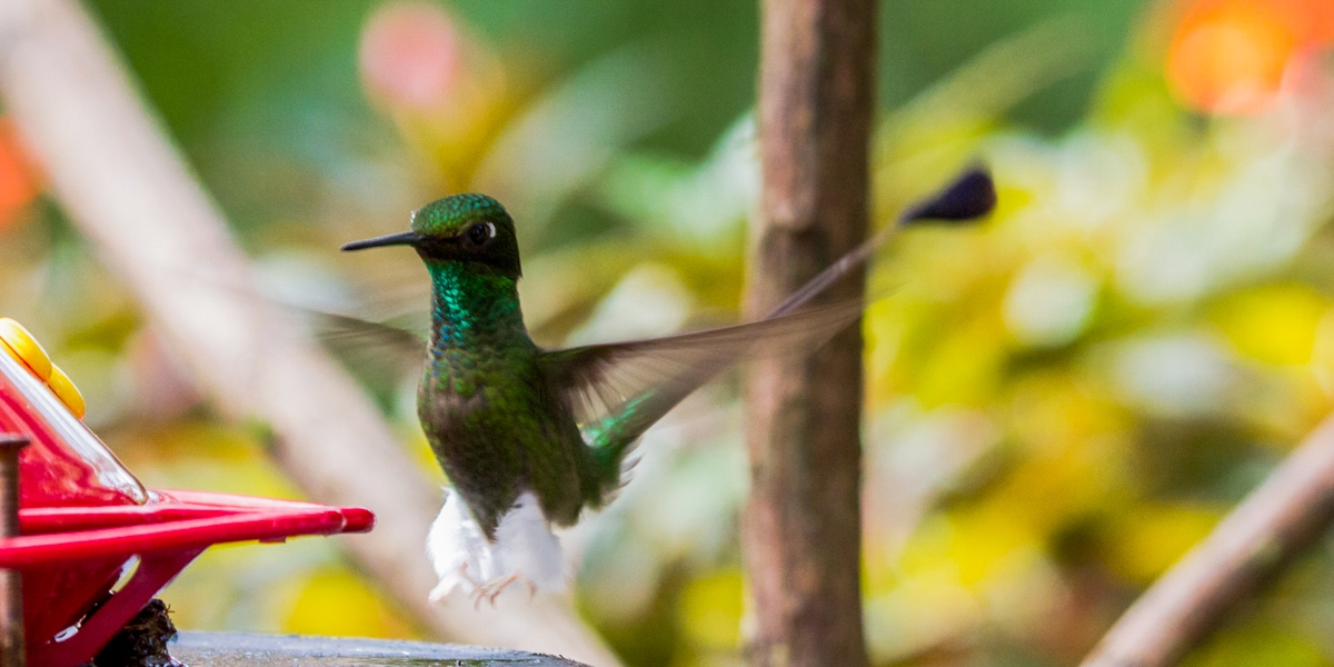 mindo cloud forest hummingbird
